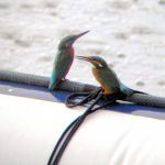 Kingfishers Courting on Hooe Lake