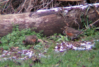 Two of the twelve Redwings