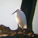 A Little Egret early one morning on Hooe Lake…