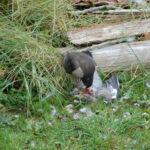 Sparrowhawk (Accipiter nisus) devouring its prey