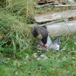Sparrowhawk (Accipiter nisus) devouring its prey