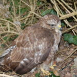 A Buzzard's sad tale, and a trip to Plymouth Museum