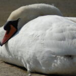 Sleepy Swans on Hooe Lake