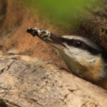 Nuthatch clearing nest & feeding it's chicks