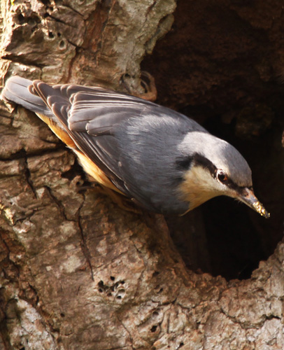 Radford & Hooe Lake Nuthatch