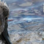 Mute Swans and their six Cygnets on Hooe Lake
