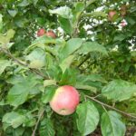 Apple - Malus domestica