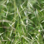 Barren Brome Anisantha sterilis
