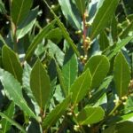 Bay - Laurus nobilis