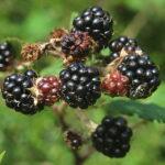 Bramble - Rubus fruticosus agg.