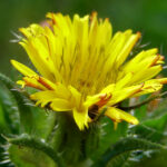 Bristly Oxtongue - Picris echioides