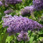 Butterfly-bush - Buddleja davidii