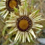 Carline Thistle - Carlina vulgaris