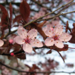 Cherry - species Prunus sp