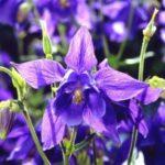 Columbine - Aquilegia vulgaris