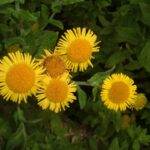 Common Fleabane - Pulicaria dystenterica