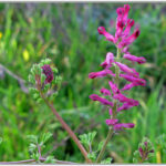 Common Fumitory - Fumaria officinalis