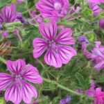 Common Mallow - Malva sylvestris