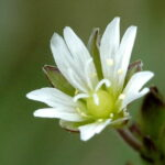 Common Mouse Ear - Cerastium fontanum