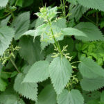 Common Nettle - Urtica dioica