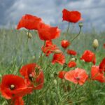 Common Poppy - Papaver rhoeas