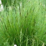 Common Sedge - Carex nigra