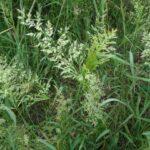 Creeping Bent - Agrostis stolonifera