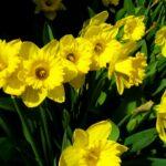 Daffodills - Narcissus pseudonarcissus