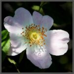 Dog Rose - Rosa canina