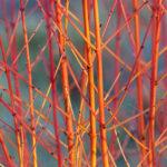 Dogwood - Cornus sanguinea