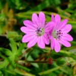 Dove's foot Crane's-bill - Geranium molle
