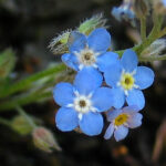 Early Forgetmenot = Myosotis ramosissima