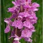 Early Marsh Orchid - Dactylorhiza incarnata
