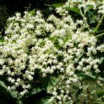 Elder - Sambucus nigra
