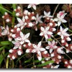 English Stonecrop - Sedum anglicum