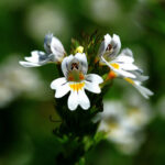 Eyebright - species Euphrasia