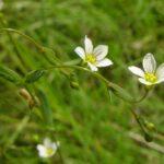 Fairy Flax - Linum catharticum