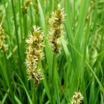 False Fox Sedge - Carex obtrubae