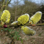 Grey Willow - Salix cinerea
