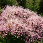 Hemp Agrimony - Eupatorium cannabinum