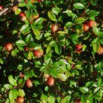 Himalayan Cotoneaster - Cotoneaster simonsii