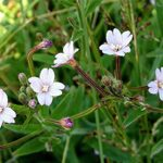 Hoary Willowherb - Epilobium parviflorum