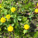 Hop Trefoil - Trifolium campestre