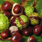 Horse-chestnut - Aesculus hippocastanum