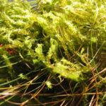 Lawn Moss - Rhytiadelphus