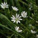 Lesser Stitchwort - Stellaria graminea