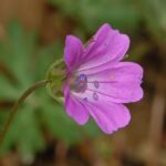 Long-stalked Crane's-bill - Geranium columbinum