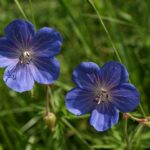 Meadow Crane's-bill - Geranium pratense