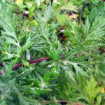 Mugwort - Artemesia vulgaris