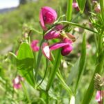 Narrow-leaved Everlasting Pea - Lathyrus sylvestris